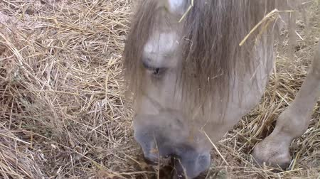 hoofs : Head of a white horse while eating hay in a barn Stock Footage
