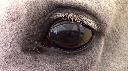 cavalinho : Closeup of a white horse eye blinking , curious about being watched.