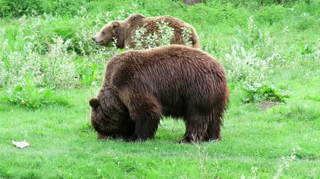 foraging behavior : Two brown bears, Ursus Arctos ,  eating fresh green grass on a pasture or meadow Stock Footage