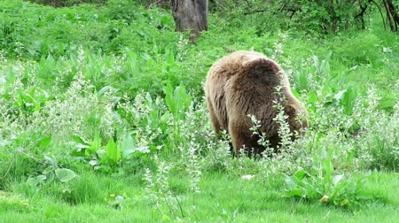 foraging behavior : Lonely brown bear , Ursus arctos , walking slowly with his head down foraging for food on a fresh grass pasture Stock Footage