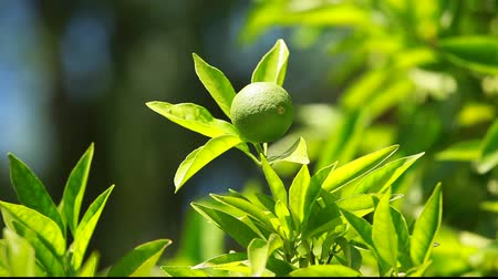 citrón : Lemon on a branch in a house garden and green background Dostupné videozáznamy