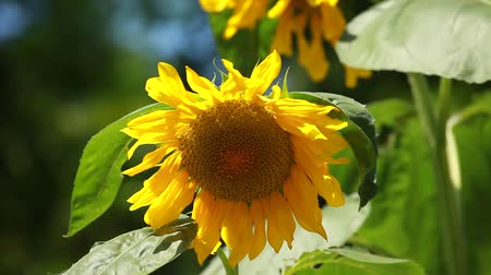 napfény : Beautiful sunflower with green leaves Stock mozgókép