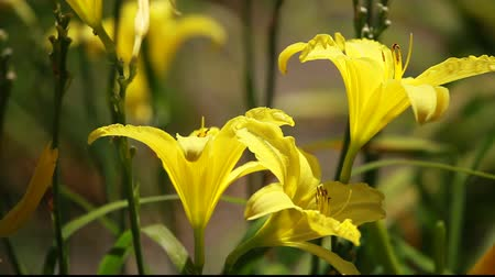 lilie : Beautiful flowers of yellow lilies