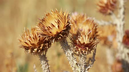 devedikeni : Closeup of spiky dried thistle blossoms with shallow depth