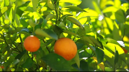 citrusové plody : Orange trees with fruits on plantation