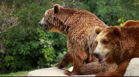 miś : Brown bear looking for food in Madrid Zoo
