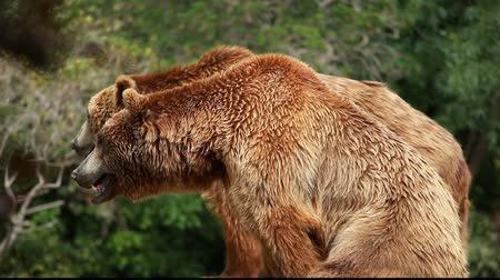 europeu : Brown bear looking for food in Madrid Zoo