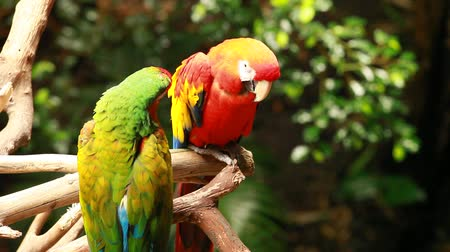 bird species : Macaw parrot in blured background  Stock Footage