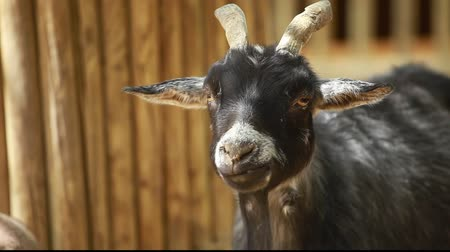 cabra : Funny goat in the farm Stock Footage