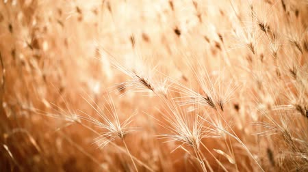 pszenica : Gold wheat field