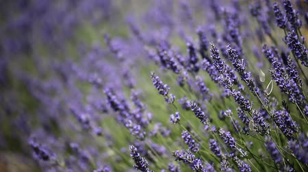 levandule : Provence, typical lavender landscape. Lavender field. France