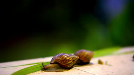 зелень : Snail crawling. Macro video shift motion