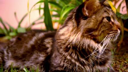 gato selvagem : Maine Coon black tabby cat with green eye on grass. Macro video shift motion