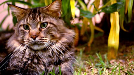 kotě : Maine Coon black tabby cat with green eye on grass. Macro video shift motion