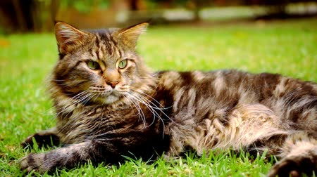 coon : Maine Coon black tabby cat with green eye lying on grass. Macro video shift motion