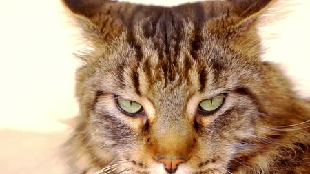tabby cat : Maine Coon black tabby cat with green eye lying on the floor. Close up macro video shift motion