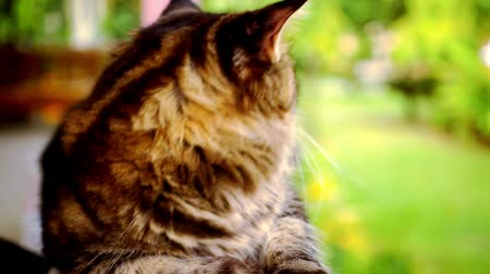 карие глаза : Maine Coon cat macro video with motion and approximation Стоковые видеозаписи