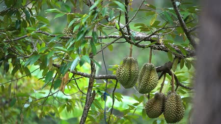mal cheiroso : Durians hanging from tree, king of fruit in Thailand. HD. 1920x1080 Stock Footage