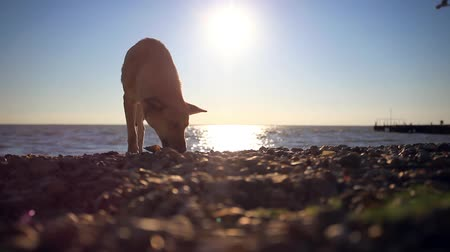 kotě : Homeless dog eats a fish on a sunset beach at blurred bokeh background