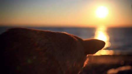 nadzieja : Romantic dog looking at amazing sunset. Blurred bokeh background and water reflected from sunlight Wideo