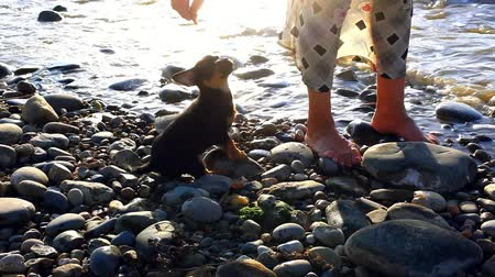 hunting dog : Puppy running near it owner legs in pebble beach during sunset
