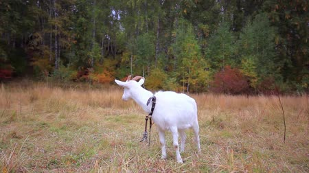 billy goat : Goat is grazed on a meadow in the fall