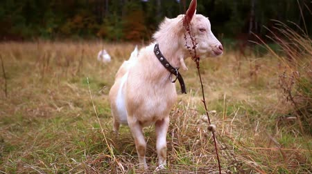 billy goat : Goats are grazed on a meadow in the fall Stock Footage