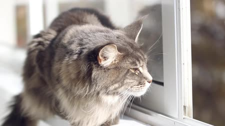 mellow autumn : Beautiful blue maine coon cat on windowsill and looking to a window in autumn season. Change focus to outdoor