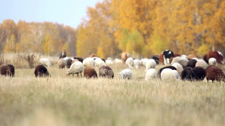 mocný : herd of sheep and cows grazing in a meadow near the forest in autumn in Siberia. King of the Meadow - Scottish Sheep and Cattle