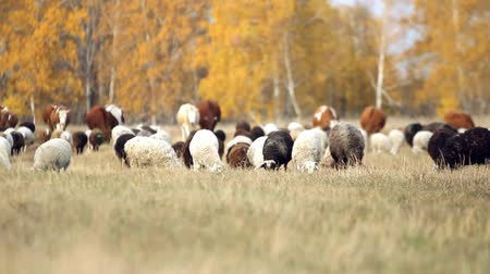 Шотландия : herd of sheep and cows grazing in a meadow near the forest in autumn in Siberia. King of the Meadow - Scottish Sheep and Cattle