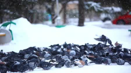 collared : Feeding pigeons in winter park. Stock Footage
