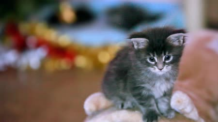 kotě : Maine coon blue kitten playing near blurred Christmas tree with bokeh