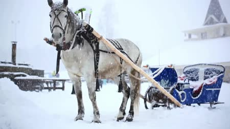 cavalo vapor : harnessed horse in winter warm Christmas day during heavy snowfall