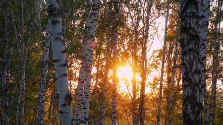 deep forest : birch trees in a summer autumn forest during beautiful sunset in slowmotion. 1920x1080