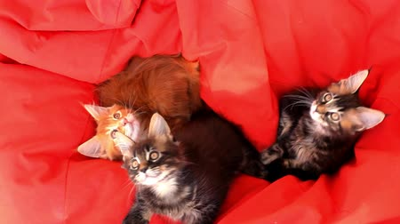 coon : Maine Coon kittens on red couch sofa. 1920x1080