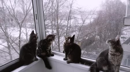 coon : Cute maine coon kittens sitting on the window and looking on the winter landscape in slowmotion. 1920x1080