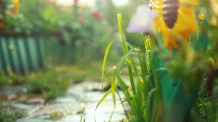 calyx : Beautiful colorful flowers in the summer garden in slowmotion with sunshine and lense flare effects. 1920x1080 Stock Footage