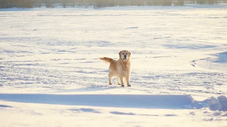 deslizamento : Golden retriever dog enjoying winter in the snow on sunny day in slow motion. 1920x1080 Vídeos