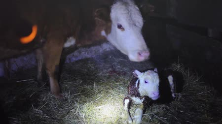 born calf : A few minutes after birth mother cow licking young infant clean baby cow cattle. 1920x1080