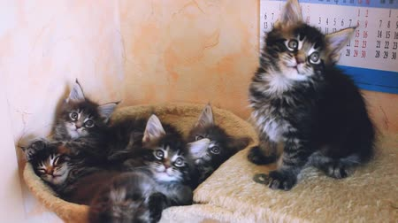 breeder : Funny cute Maine coon kittens lying in hammock move their heads back and forth. 1920x1080. hd
