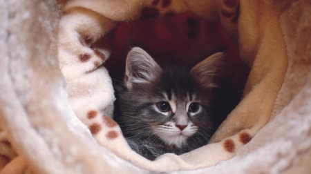 coon : Playful blue tabby color Maine coon kitten. 1920x1080. hd