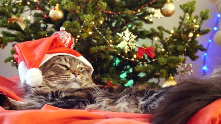 brit : Funny laizy Maine Coon cat as Santa Claus wears christmas cap sits on the pillow at a beautiful new year decorated tree. 3840x2160. 4k