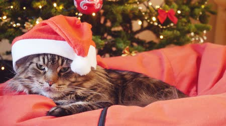 brit : Funny Maine Coon cat as Santa Claus wears christmas cap sits on the pillow at a beautiful new year decorated tree. 3840x2160