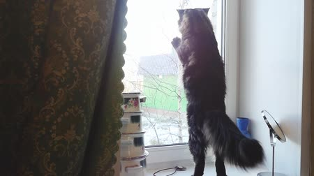 coon : Funny Maine Coon cat standing and knocking in the window in slow motion. Looking out the window. 1920x1080