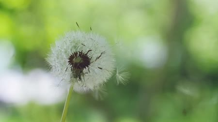dmuchawiec : Flying dandelion seeds on blurred bokeh grass background in slow motion. 1920x1080