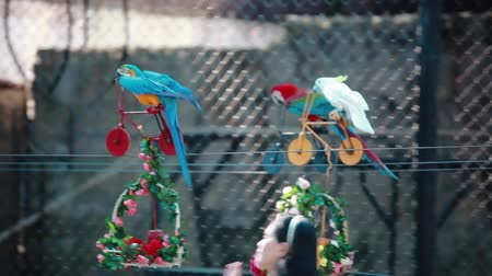 arara : THAILAND, Koh samui, 29 january 2016. Guy shows red-blue Macaw parrot and Ara parrot riding bicycles. 1920x1080 Vídeos