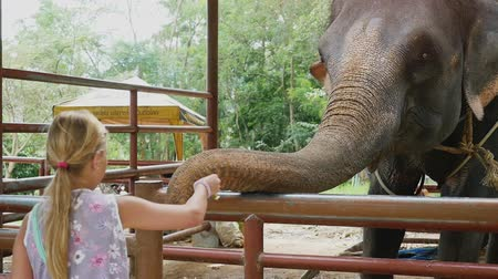 probóscide : Thailand, Koh Samui, 2 february 2016. Cute girl feeding the elephant by bananas in zoo. slow motion. 1920x1080