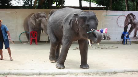 probóscide : Thailand, Koh Samui, 9 february 2016. Elephant show performance outdoors. The elephant rises on the front and hind legs. 1920x1080 Vídeos
