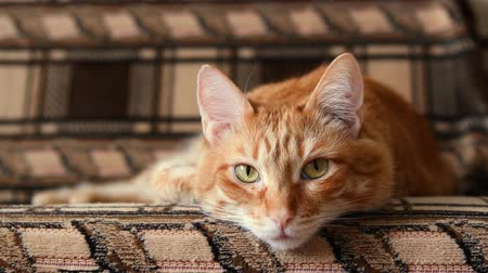 кошачий : Lazy red cat lying on the couch. Shallow focus.