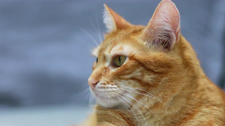 bichano : Closeup portrait of a orange cat on a blue blurred background. Shallow focus. Stock Footage